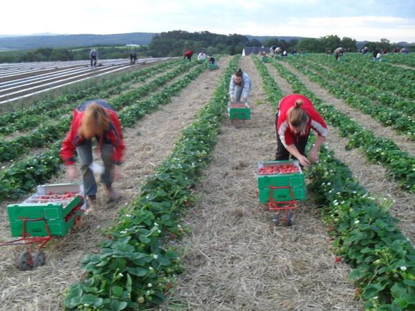Работники на клубничной плантации
