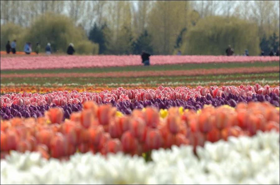 Рабочие на плантациях тюльпанов в Голландии