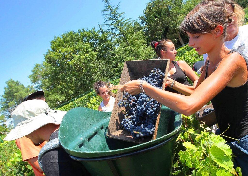 Сбор винограда в Португалии